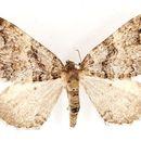 Image of Anticlea