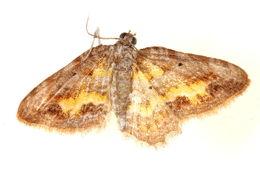 Image of Acolutha