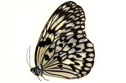 Image of <i>Idea leuconoe</i> Erichson 1834