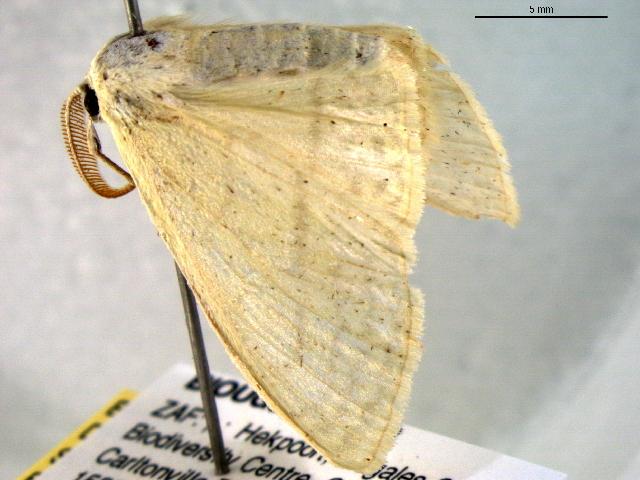 Image of <i>Problepsis ctenophora</i>