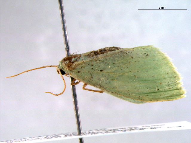 Image of <i>Neromia cohaerens</i> Prout 1916