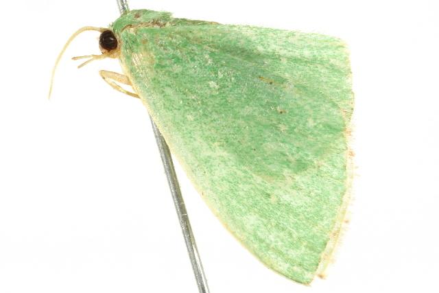 Image of <i>Omphacodes punctilineata</i> Warren 1897