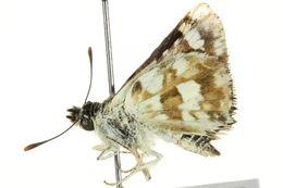 Image of <i>Spialia spio</i> Linnaeus 1764