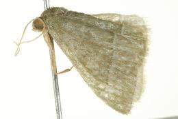 Image of <i>Chlorissa dorsicristata</i> Warren 1905