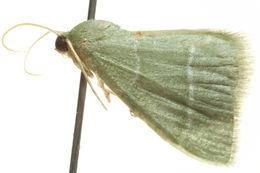 Image of <i>Idiochlora attenuata</i>