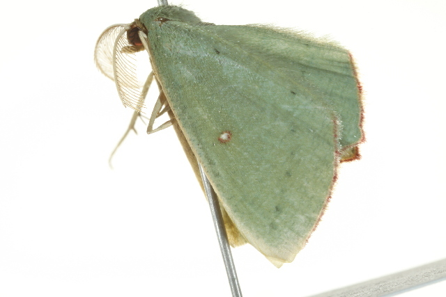 Image of <i>Traminda ocellata</i> Warren 1895