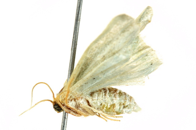 Image of <i>Mixocera viridans</i> Prout 1912