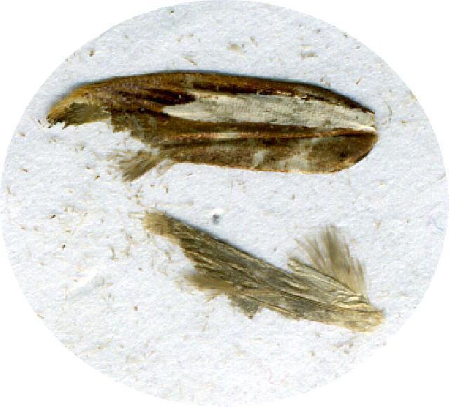 Image of <i>Ypsolopha albistriatus</i>
