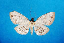 Image of <i>Rhodoneura rufifimbria</i> Warren 1901