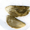 Image of <i>Dalaca variabilis</i> Viette 1950