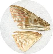 Image of <i>Rhodoneura pudicula</i> Guenée 1858
