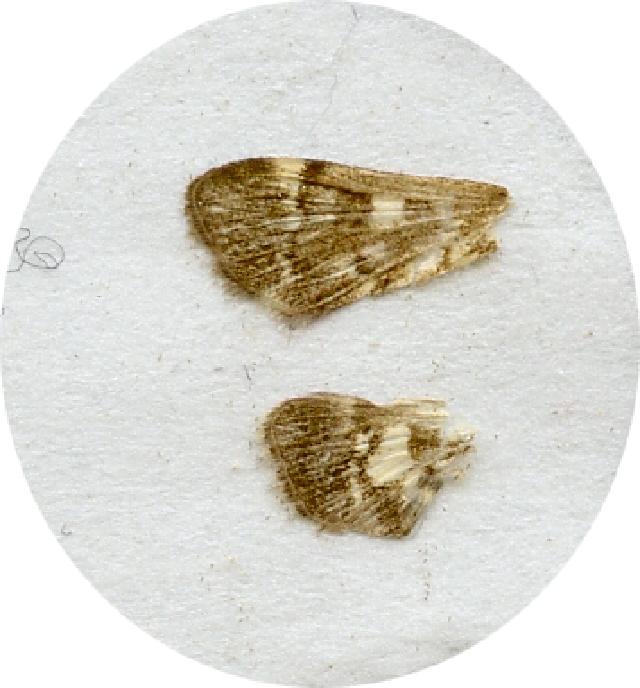 Image of <i>Piletocera sodalis</i> Leech 1889