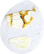 Image of <i>Ariolica argentea</i> Butler 1881