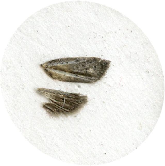 Image of <i>Homadaula anisocentra</i>