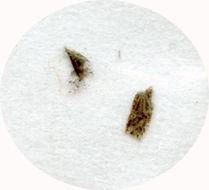 Image of <i>Mnesarchaea acuta</i> Philpott 1929