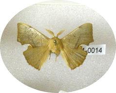 Image of <i>Trogoptera althora</i> Schaus 1928