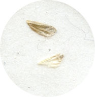 Image of <i>Homadaula albida</i> Mey 2004