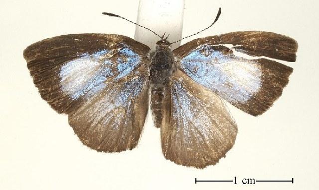Image of <i>Philiris moira</i> (Grose-Smith 1899)