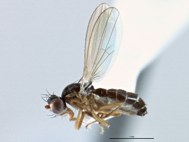 Image of <i>Cyamops halteratus</i> Sabrosky 1958
