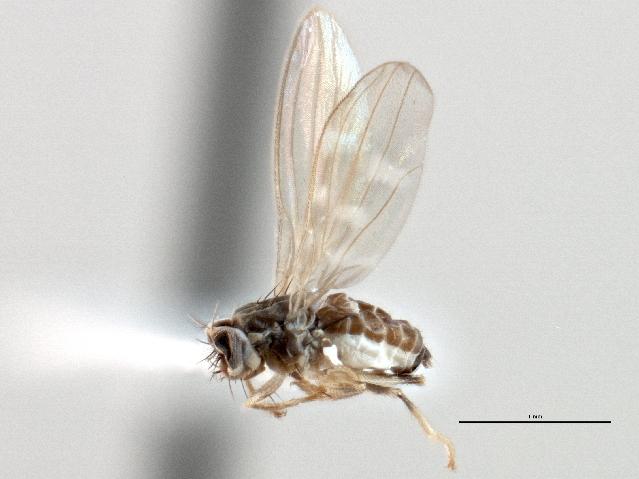 Image of Stenomicrinae