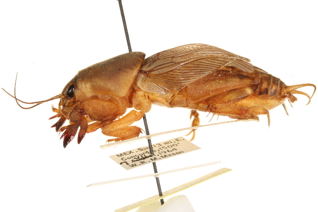 Image of Scapteriscus