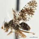 Image of Xanthomyia