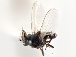 Image of Milichiinae