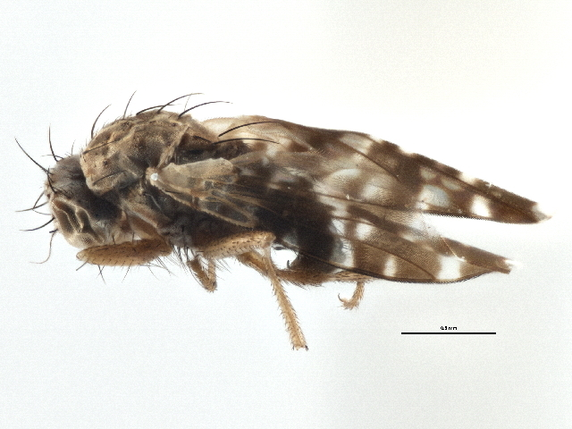 Image of Trixoscelidinae