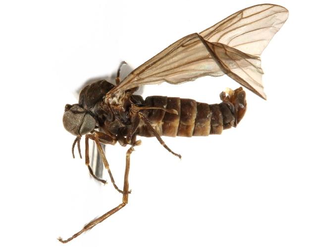 Image of Axymyiidae