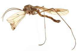 Image of pachyneurid gnats