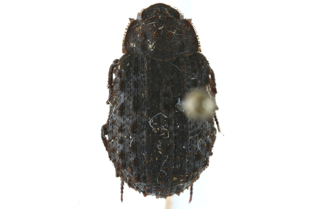 Image of Troginae