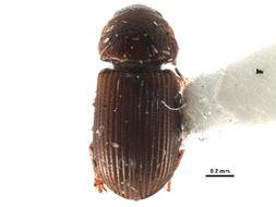 Image of Pleurophorus