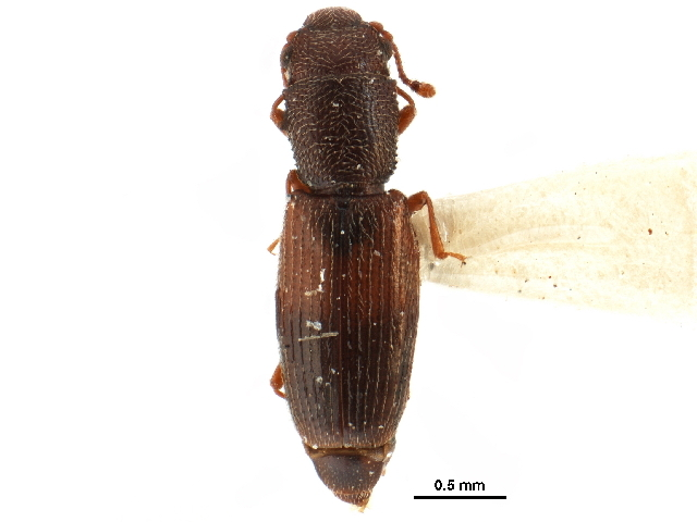 Image of Hesperobaenus
