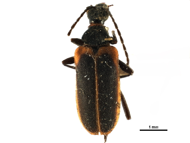 Image of Acmaeops