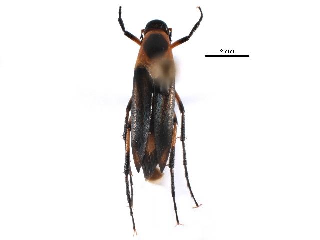 Image of Ripiphorinae
