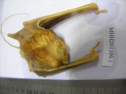 Image of mouse-tailed bats