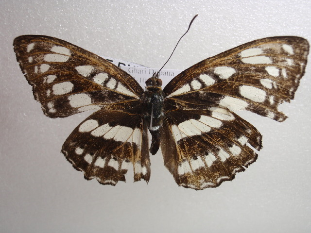 Image of <i>Pantoporia nefte</i>