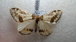 Image of <i>Abraxas leopardina</i> Kollar 1844