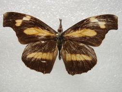 Image of <i>Libythea myrrha</i> Godart 1819