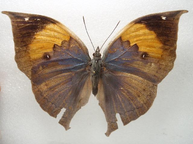 Image of <i>Kallima inachus</i> Boisduval 1836