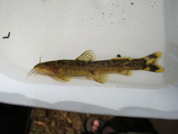 Image of loach catfishes