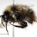 Image of <i>Bombus polaris</i> Curtis 1835