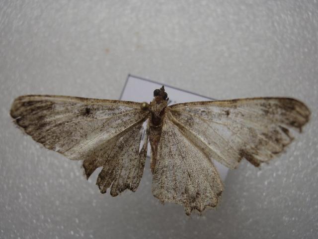 Image of <i>Alcis trikotaria</i> Felder 1874