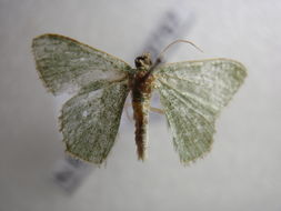 Image of <i>Hemithea punctifimbria</i> Warren 1896