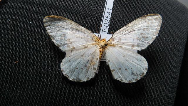 Image of <i>Abraxas virginalis</i> Butler 1886