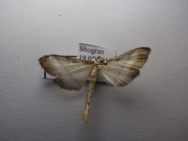 Image of <i>Bradina diagonalis</i> Guenée 1854