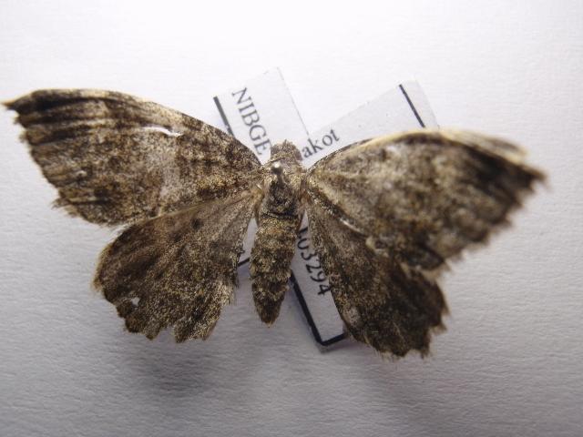 Image of Coenotephria