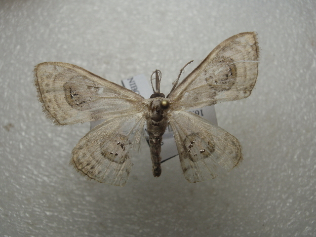 Image of <i>Problepsis ocellata</i> Frivaldszky 1845