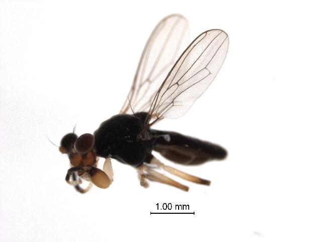 Image of Sphyracephala