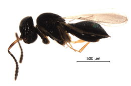Image of <i>Telenomus turesis</i> Walker 1836